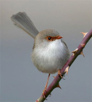 A female Superb Fairy-wren
