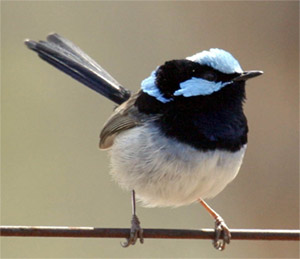 A male Superb Fairy-wren
