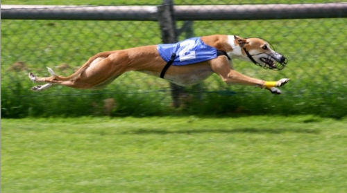 Greyhound racing (Image: AngMoKio)