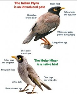 Do you know the difference between the Common Myna and the native Noisy Miner?    (image: Waverley Council)