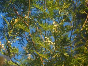 Parramatta Green Wattle (Acacia parramattensis) Foreshore walk (photo: Asa Wahlquist)