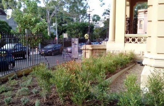 Plantings of blue wren friendly native flora at the entrance to Glebe Town Hall, March 2016 (photo: Helen Randerson).