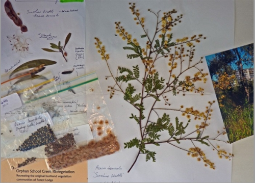 Display in shop window in Ross St of seeds collected from native plants in Orphan School Creek by the Friends of Orphan School Creek Bushcare Group. The seeds are germinated by the Group and the seedlings planted in the park during the monthly working bees. (Photograph by BRANCH3D).